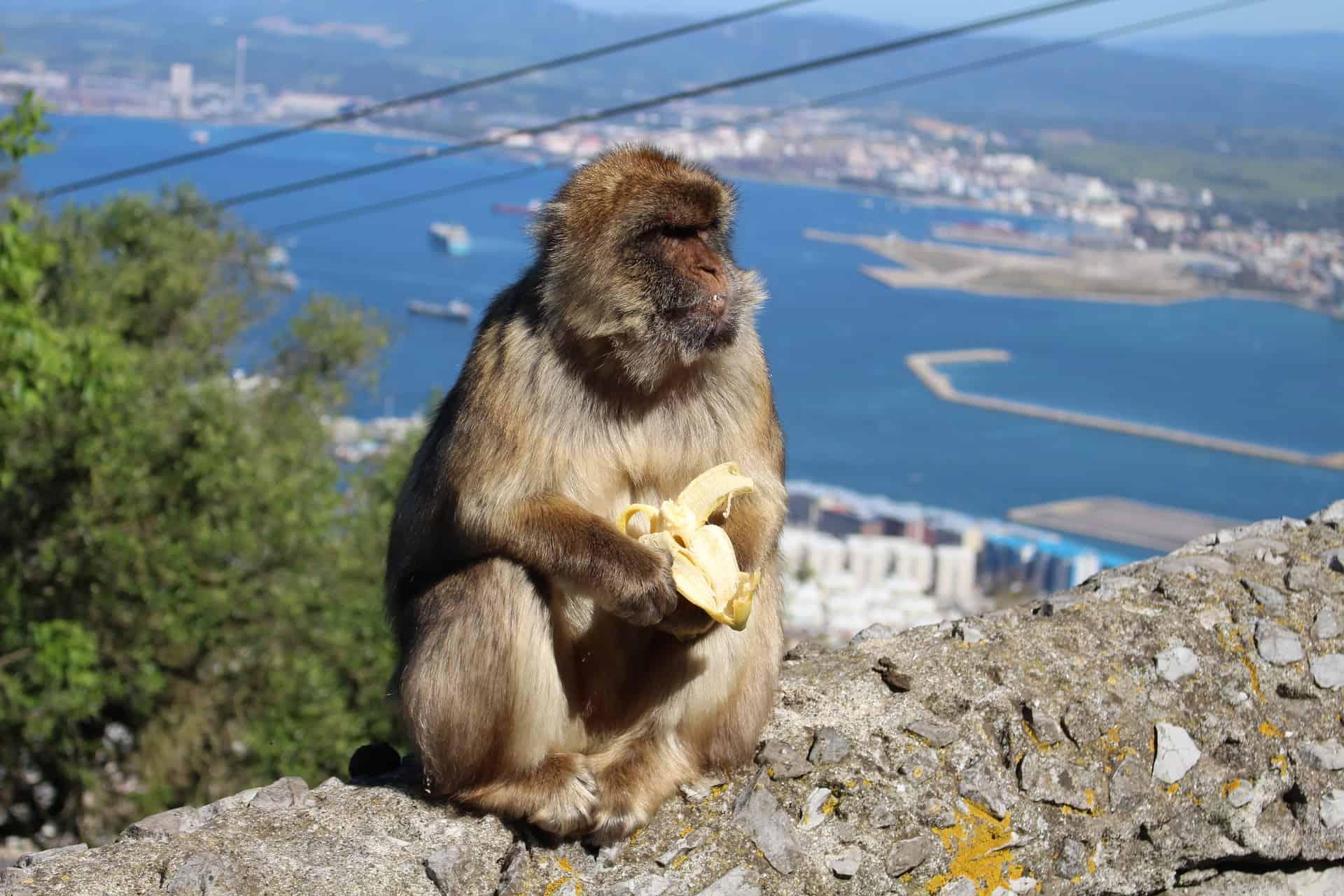 ape banana gibraltar mediterranean rock