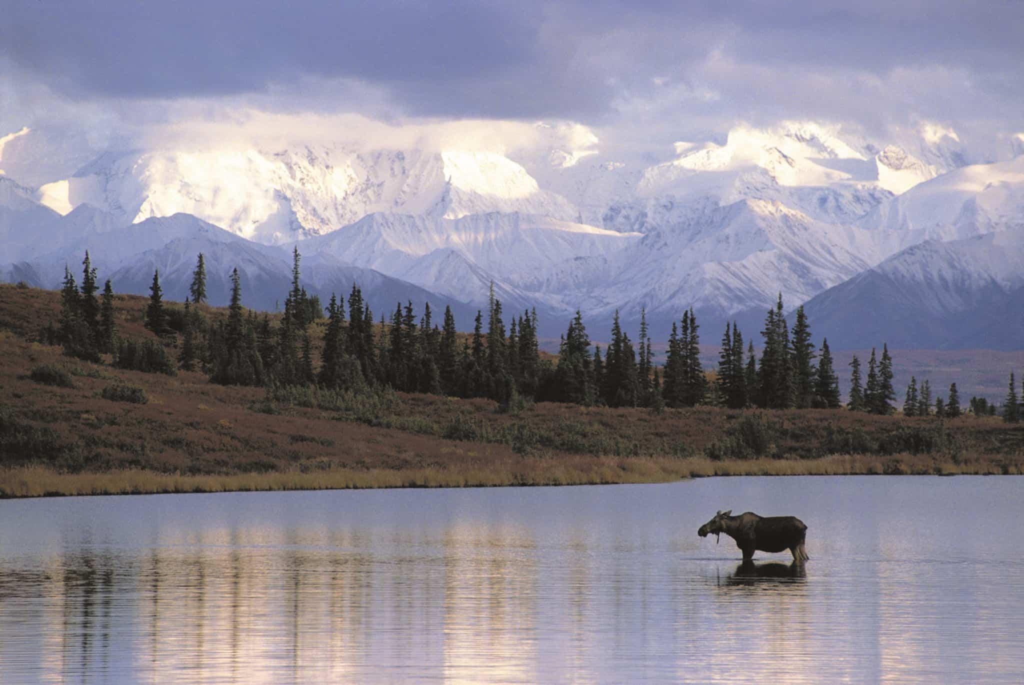 alaska denali moose holland america