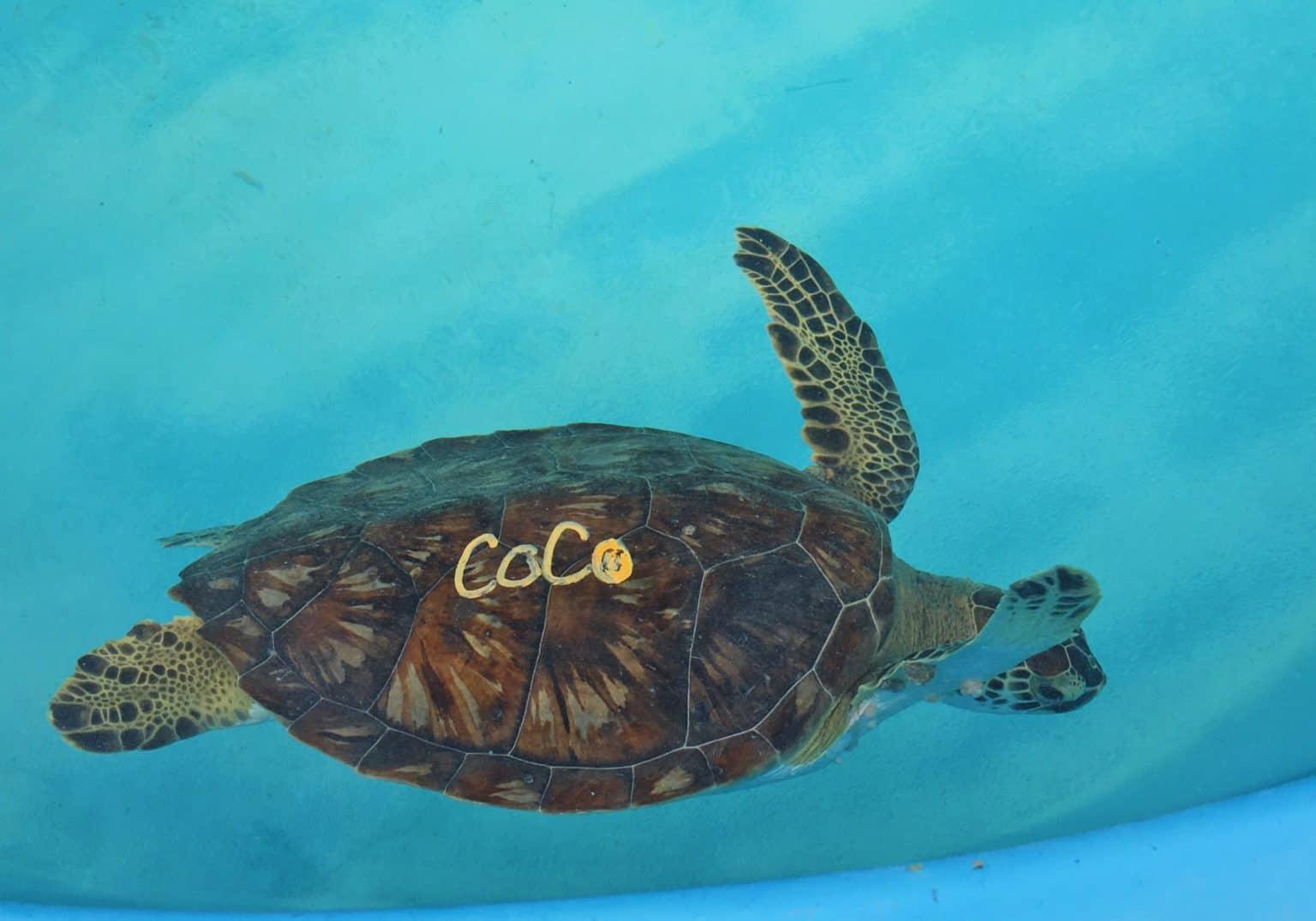 coco sea turtle florida turtle hospital