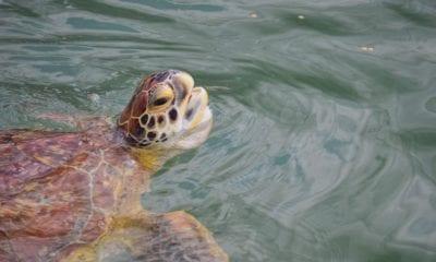 sea turtle hospital marathon key florida