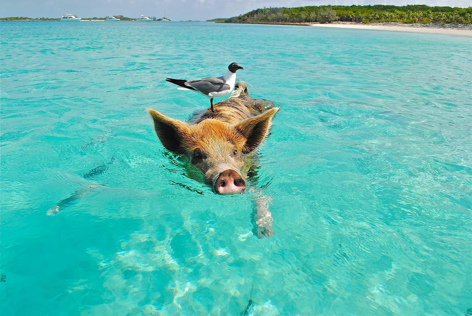 swimming with pigs exumas exuma bahamas