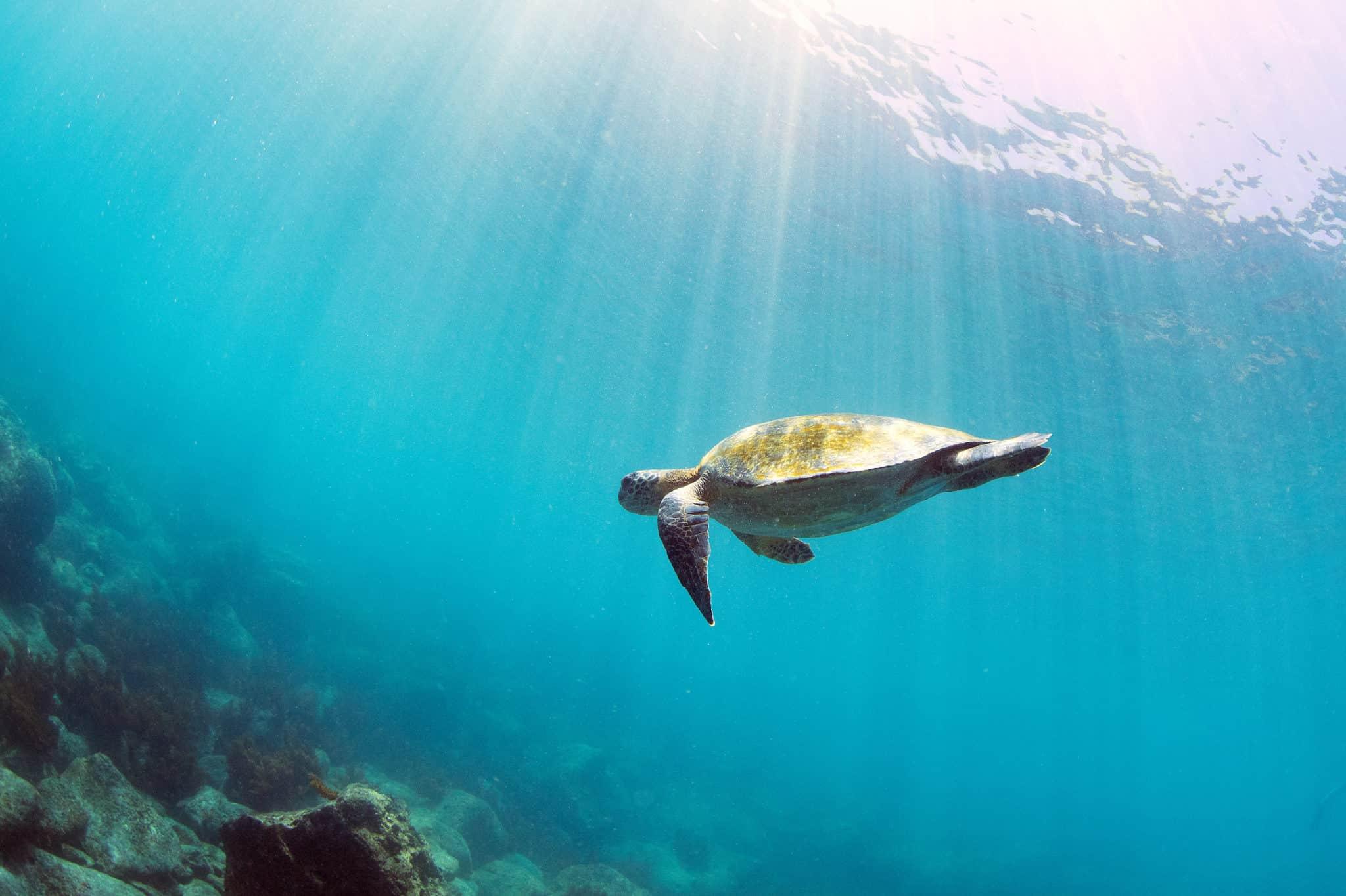 green sea turtle galapagos islands