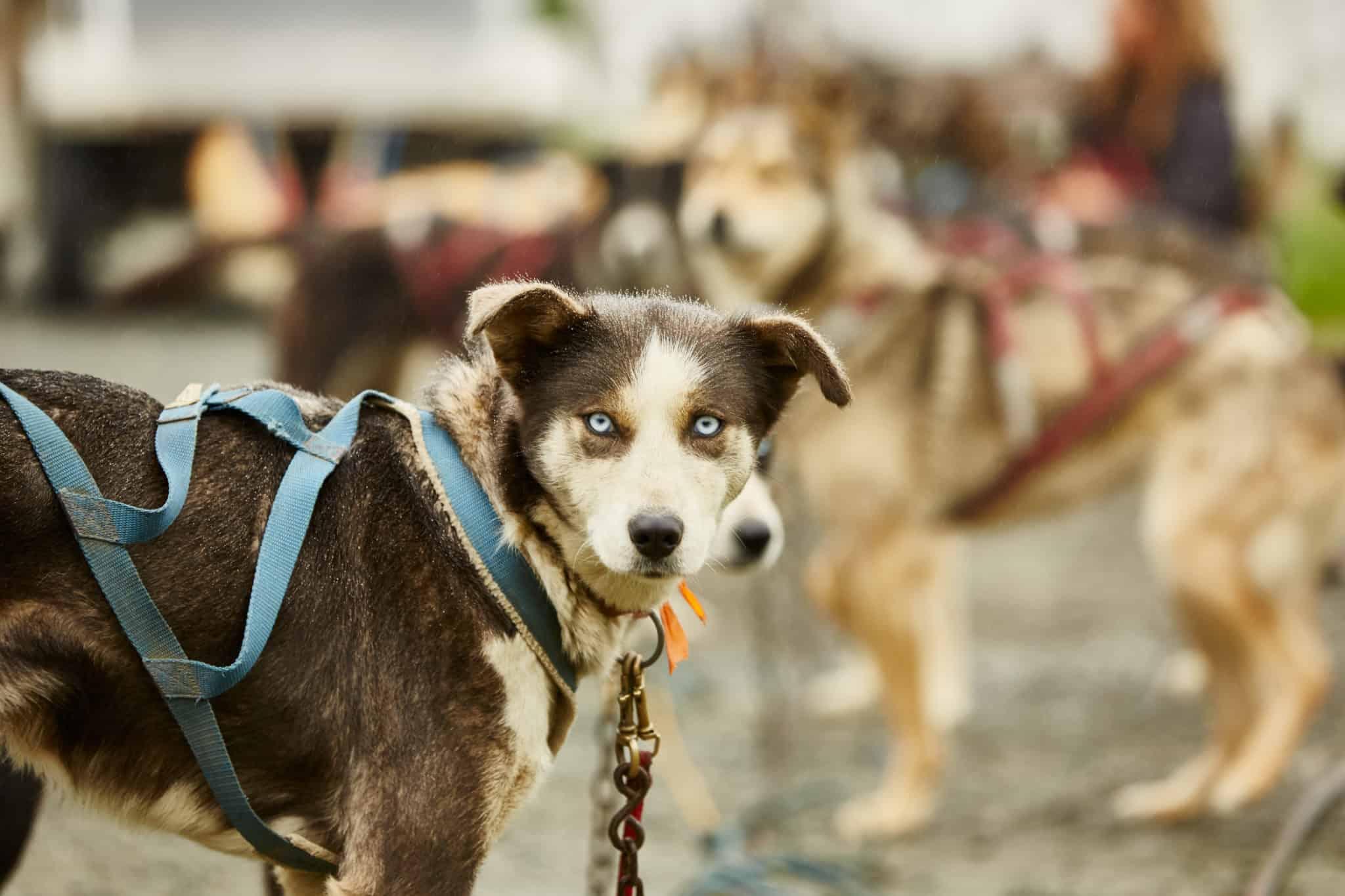 sled dog alaska princess cruises