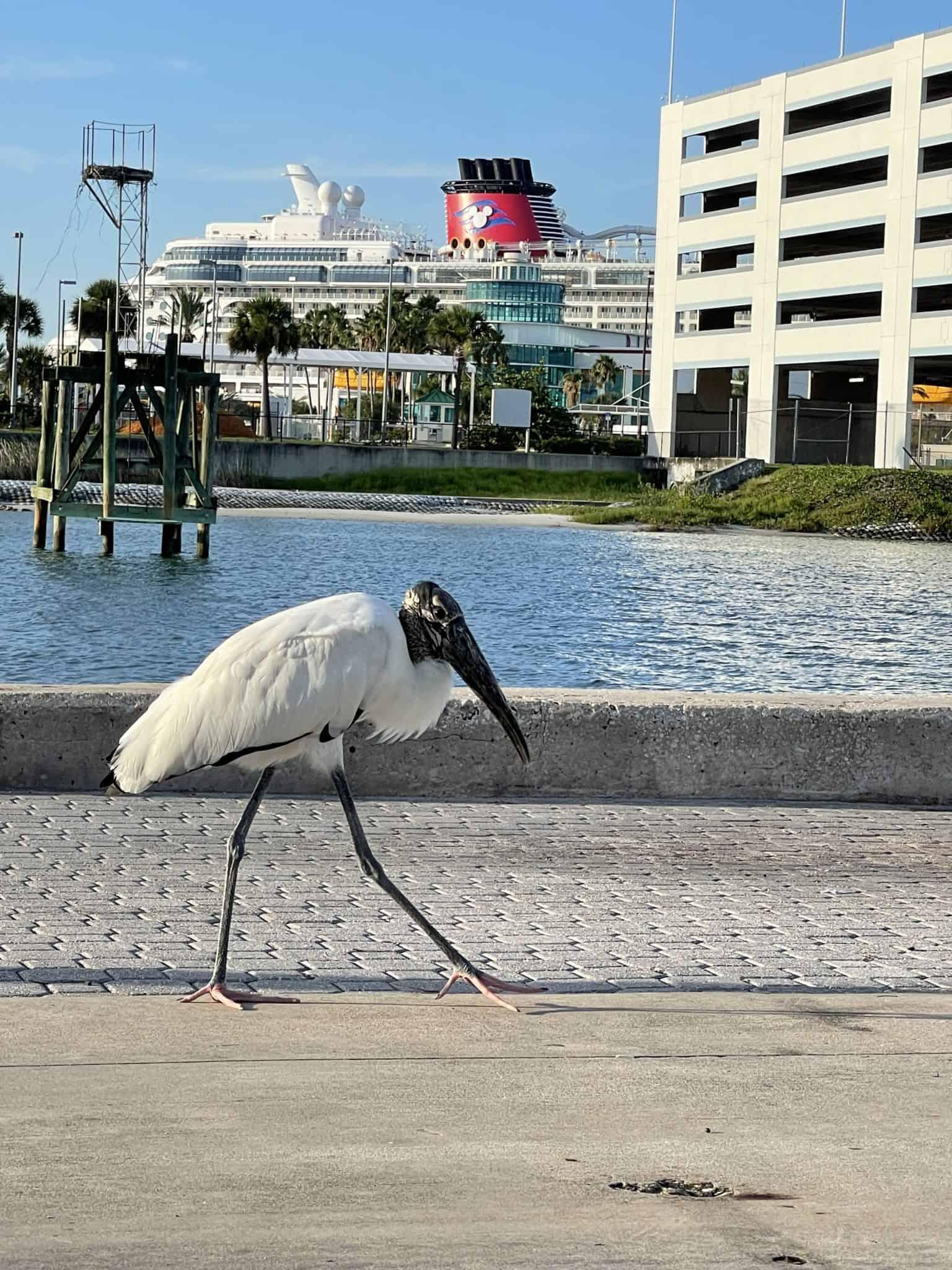 port canaveral bird disney ship