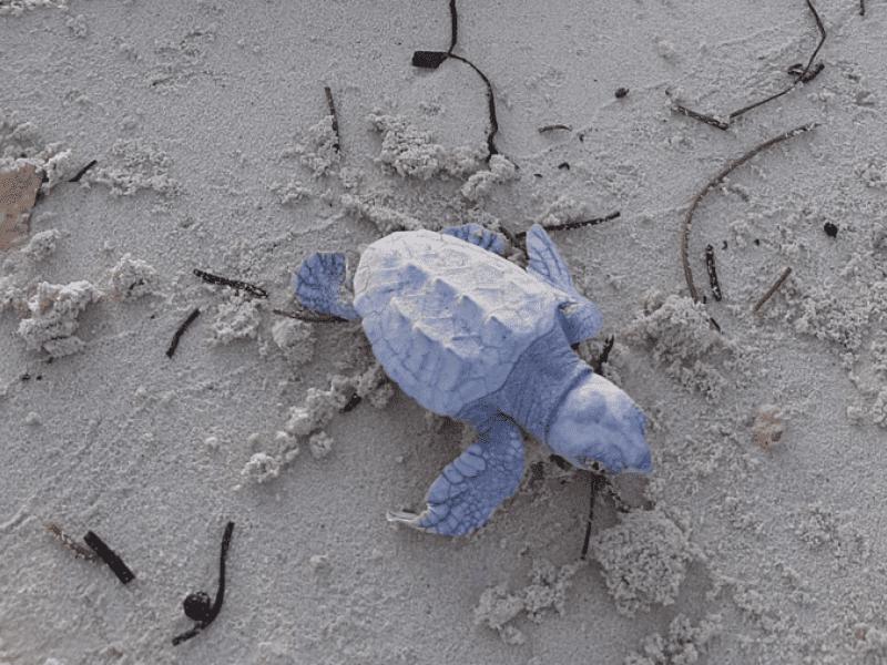 ocean cay msc cruises loggerhead sea turtle hatchlings